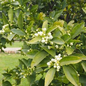 Florada de Laranjeira