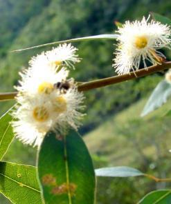Florada de Eucalipto