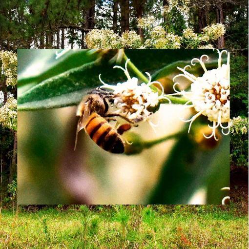 mel-silvestre-capixingui-cipo-uva