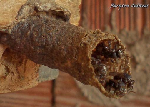Mel de Mandaguari - ASF Abelha indigena brasilieira - Nativa - sem ferrao