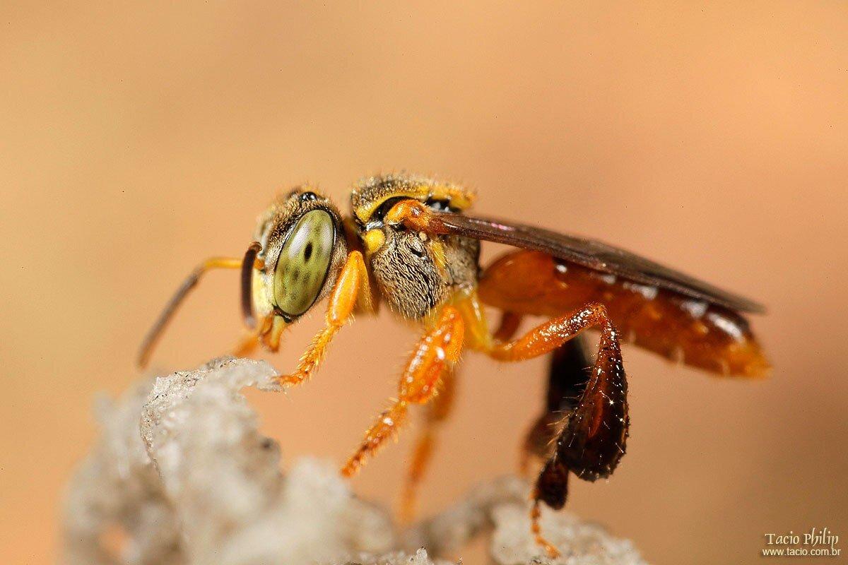 tacio.com.br Tetragonisca angustula colony - honeybees jatai