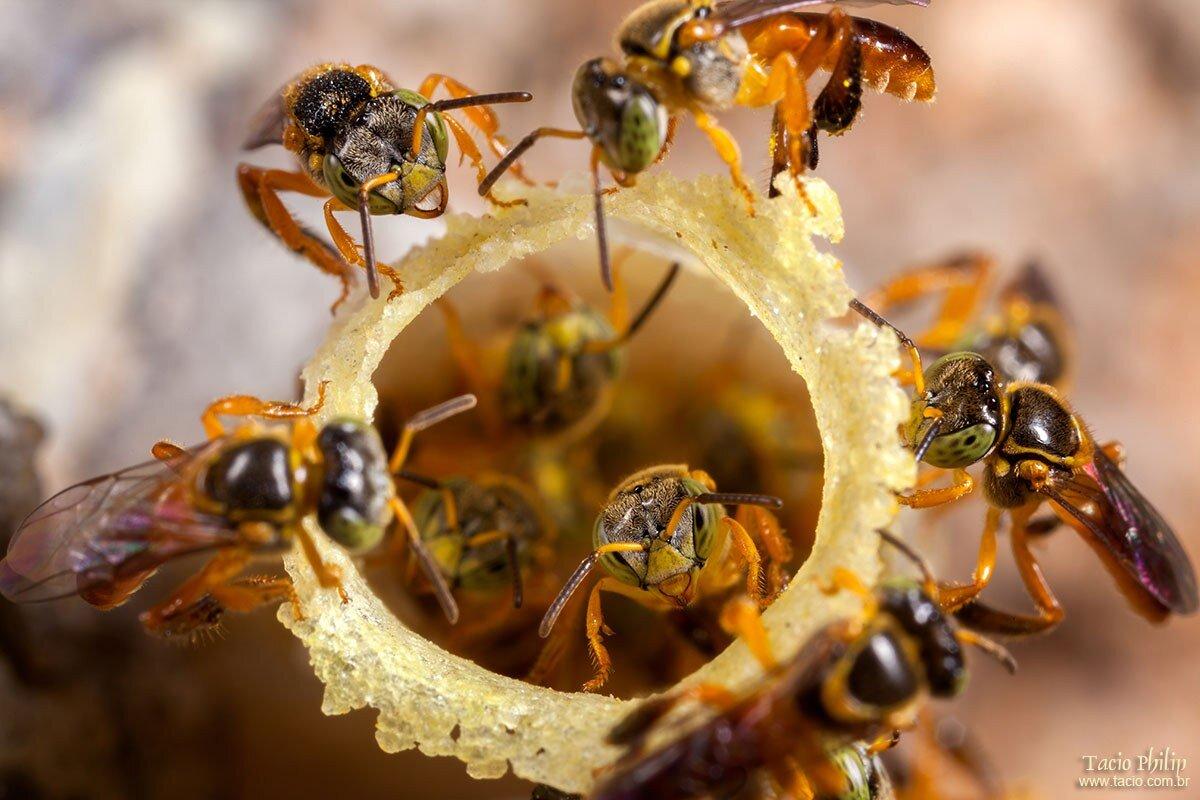 Tetragonisca angustula colony - honeybees jatai - tacio.com.br