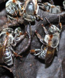 mel-de-abelha-urucu-cinzenta-tiuba-do-para-1-litro-D_NQ_NP_983901-MLB26839053379_022018-F