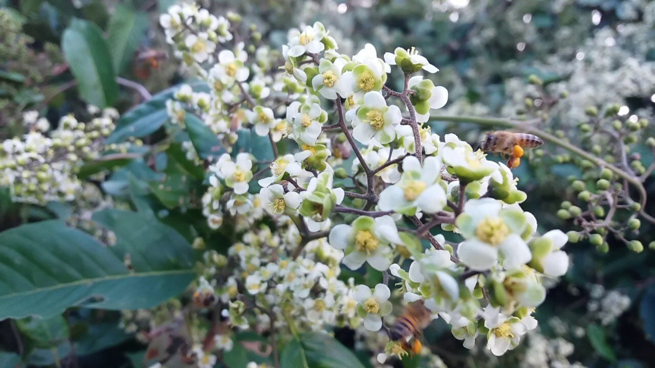 cipo-uva-mel-florada-clara