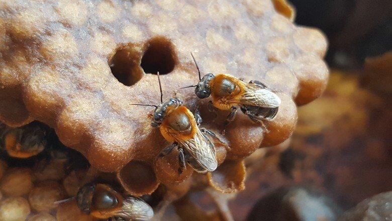 mel de abelha jandaira da amazonia